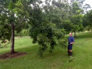 Pecan tree pruning heavy load Feb2015