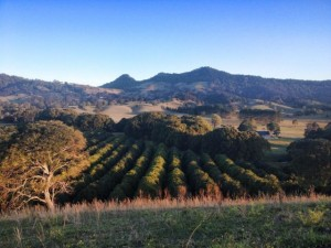 Farm with view of macadamia nut tree plantation