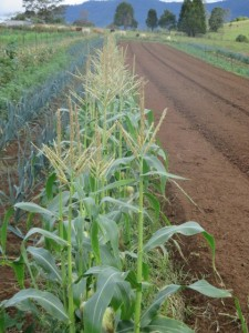 Corn growing