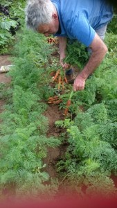 Des picking carrots May15
