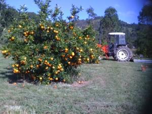 Orange trees + tractor