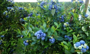 Blueberry Fields