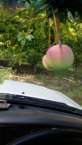 Picking Keitts mangoes