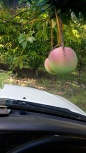Picking Keitts mangoes