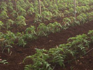 tomatoeseedlings Bilambil 030616