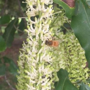 bee-on-maca-flower