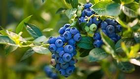 You are currently viewing Blueberry Fields