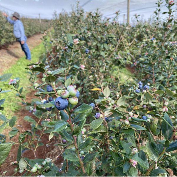 Blueberry Fields in netted area