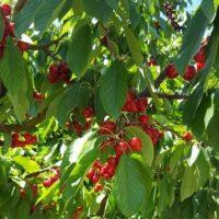 Cherries from Costanzo
