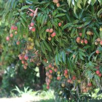 Lychees loaded Dec 18