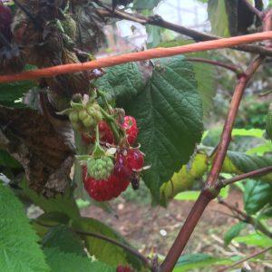 raspberries on vine